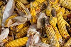 Corn rot. Disease on ear Stock Photos