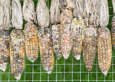 Corn rot Stock Photos