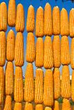 Corn in row Stock Image