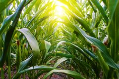 Corn Row on Amish Midwest Farm. Row of corn on Amish farm in missouri with rays of light from sunset shining through the corn field Stock Image