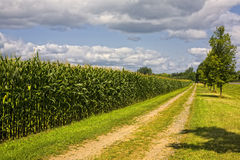 Corn Row, Dirt Road and Trees stock photography