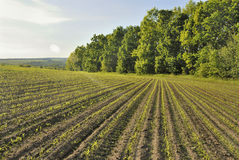 Corn row near forest. Corn rows in the field near forest Royalty Free Stock Images
