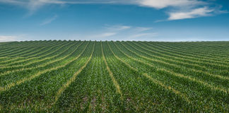 Corn Row Pano Stock Photography