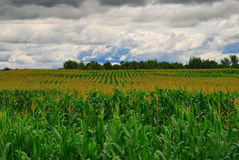 Corn Rows. Rows of corn growing under a cloudy summer sky Stock Photography