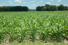 Corn_rows Photos stock