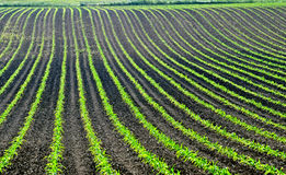 Corn rows. Image of corn sprouts in rows Royalty Free Stock Photo