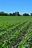 Corn Rows 2. Rows of one foot high corn stalks in a farm field Royalty Free Stock Images
