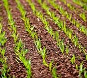 Corn Rows Stock Photo
