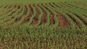 Corn Rows Spring Planting Vertical Pan stock video
