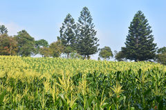 Corn's field on the hill Stock Photography