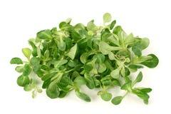 Free Corn Salad Royalty Free Stock Photos - 8518408