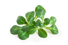 Corn salad plant. Lamb`s lettuce Valerianella locusta, isolated on white background stock photos