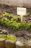 Corn Salad (Valerianella locusta) stock photography