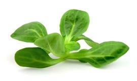 Corn salad on white. Valerianella locusta,corn salad,lamb's lettuce royalty free stock images