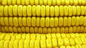 Corn scene Stock Photography