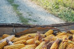 Corn season royalty free stock image
