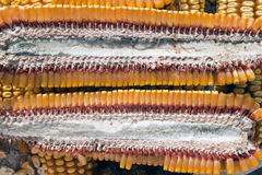 Corn section Stock Images