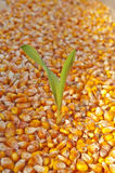 Corn seed Stock Images