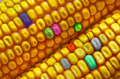 Corn seed Stock Photos