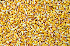 Corn seed, agriculture background Royalty Free Stock Photos