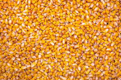Corn Seed as Full Frame Background Royalty Free Stock Photography