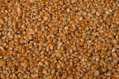 Corn seed background , Agricultural production Royalty Free Stock Photo