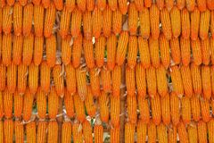 Corn seed background. Stock Photography