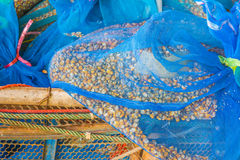 Corn seed  in bag. Image of corn seed  in net bag Stock Images