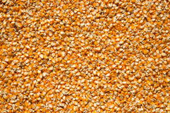 Corn seed Royalty Free Stock Photo
