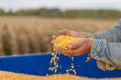 Corn seed in hand of farmer. Stock Image