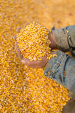 Corn seed in hand of farmer. Royalty Free Stock Photo