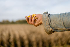 Corn seed in hand of farmer. Royalty Free Stock Images