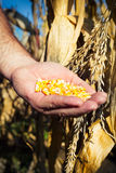 Corn seed in hands of farmer Royalty Free Stock Photo