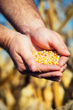 Corn seed in hands of farmer Royalty Free Stock Images