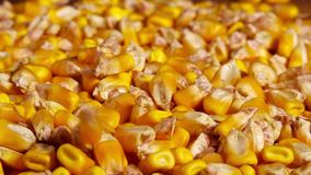 Corn seed harvest, successful agricultural practice concept stock footage
