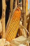 Corn. Seed corn ready for the Harvest Stock Photography
