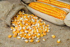 Corn seed yellow. Corn seed or maize corn seed pile on brown sack background Stock Photos