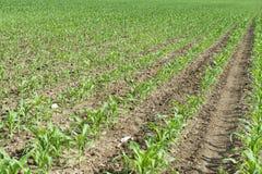 Corn seedling Royalty Free Stock Photography