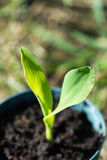 Corn seedling Royalty Free Stock Photos