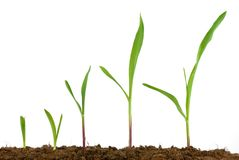 Corn seedling growing Royalty Free Stock Image