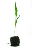 Corn Seedling Isolated stock photos
