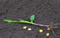 Corn seedling Stock Photography