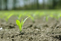 Corn Seedlings. Newly planted, very young corn plant in a large field.  Plants are only 3-4 inches tall Royalty Free Stock Photos