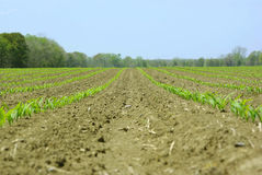 Corn Seedlings. Rows of very young corn plants in a large field.  Plants are only 3-4 inches tall Royalty Free Stock Image