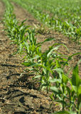 Corn Seedlings Royalty Free Stock Photography
