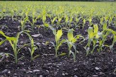Corn seedlings crop field in spring Royalty Free Stock Images