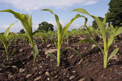 Corn seedlings crop field in spring Stock Photos