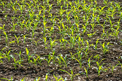 Corn seedlings Royalty Free Stock Images