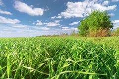 Corn seedlings in the field Royalty Free Stock Image