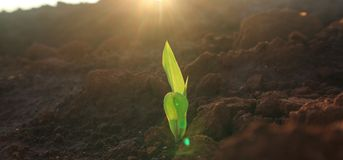 Corn seedlings with sunlight Thailand stock photo